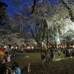 桜花見 大宮公園